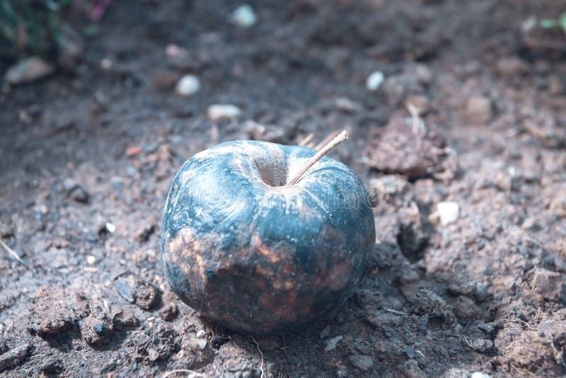 тухлое яблоко лежа на том основании стоковые изображения rf