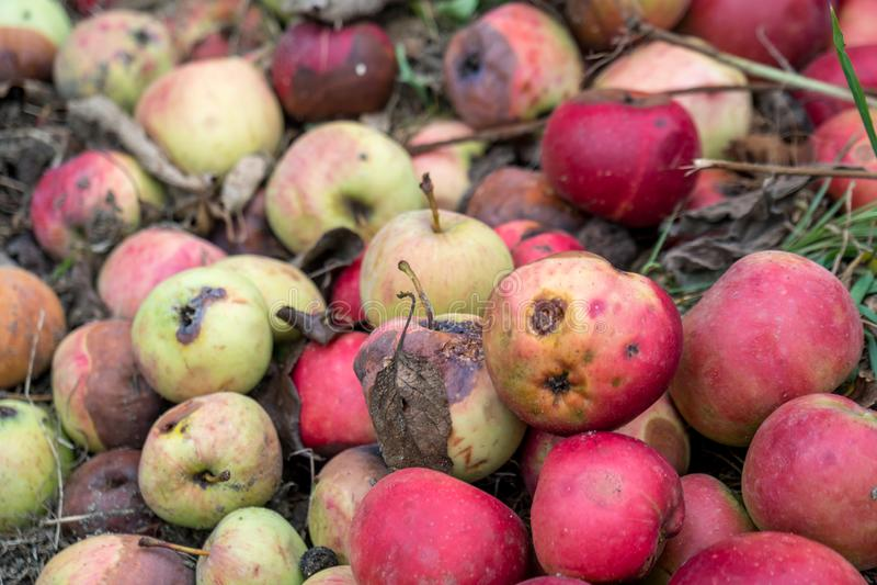 Тухлые яблоки упаденные на том основании стоковое изображение rf