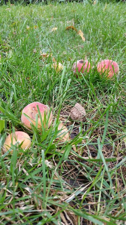 Тухлые персики стоковые изображения