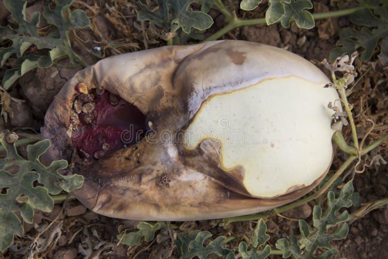 Тухлый арбуз стоковое фото