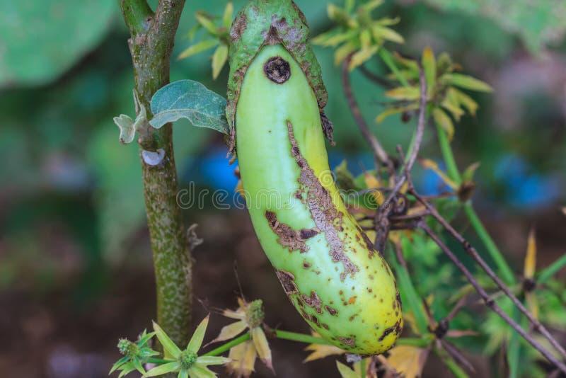 Тухлый баклажан на дереве стоковое изображение