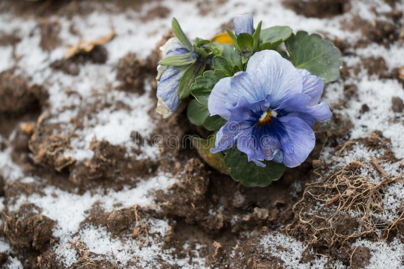 Тухлый цветок на мерзлом грунте стоковое фото rf