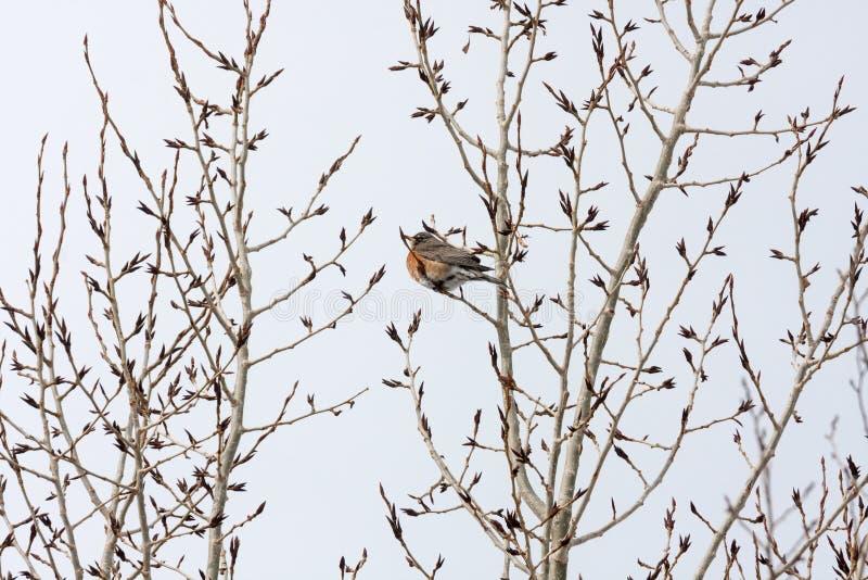 Тучное Робин среди ветвей дерева Поздно-зимы стоковые изображения