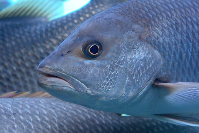 тучные рыбы Стоковые Изображения RF