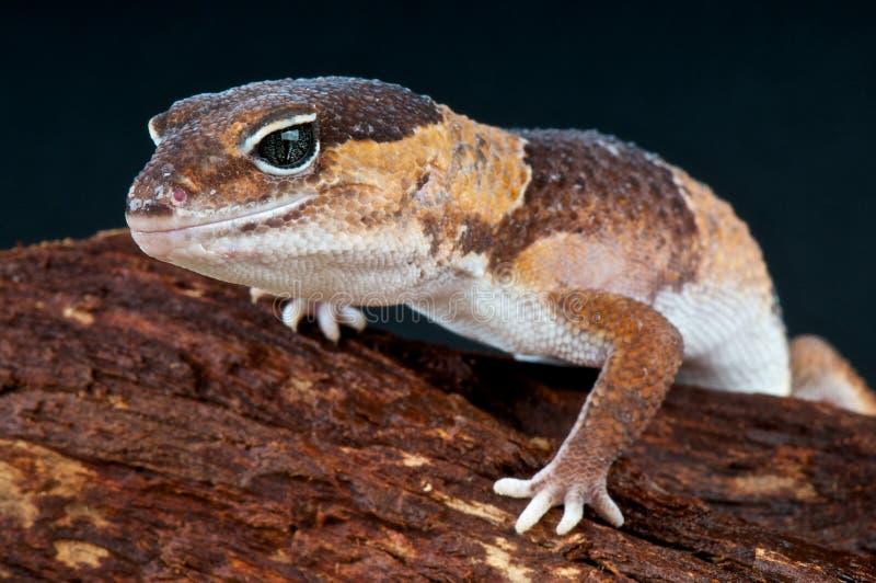 тучный замкнутый gecko стоковая фотография rf