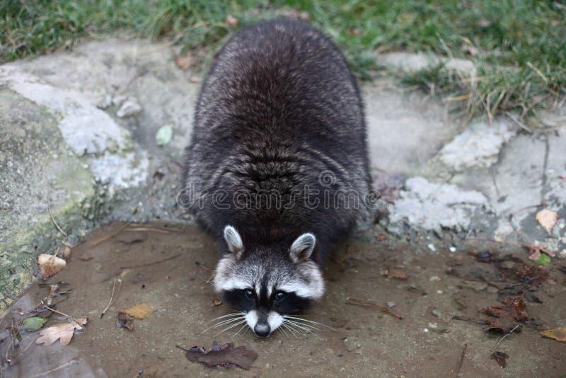 Тучный смешной енот стоковое изображение rf