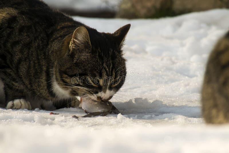 Тучный striped кот полно страстного желания сдерживает в свежую рыбу стоковые фото