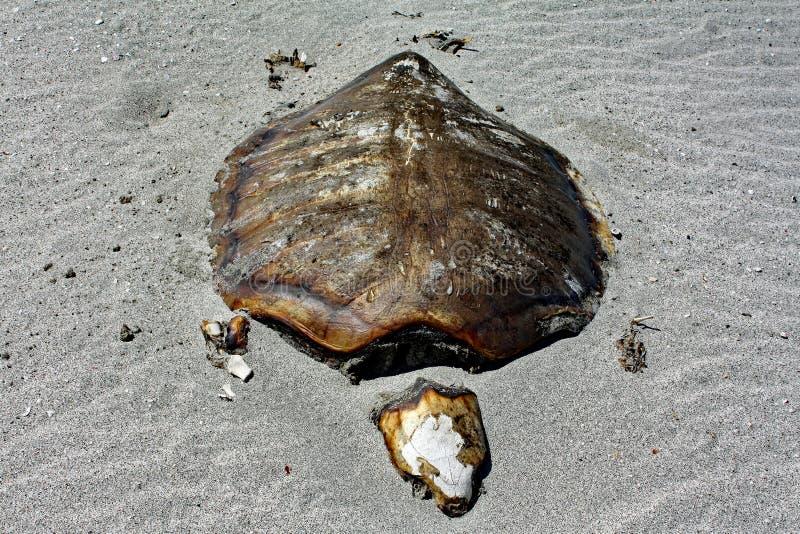 Туша #1 черепахи: Остров Masirah, Оман стоковые изображения