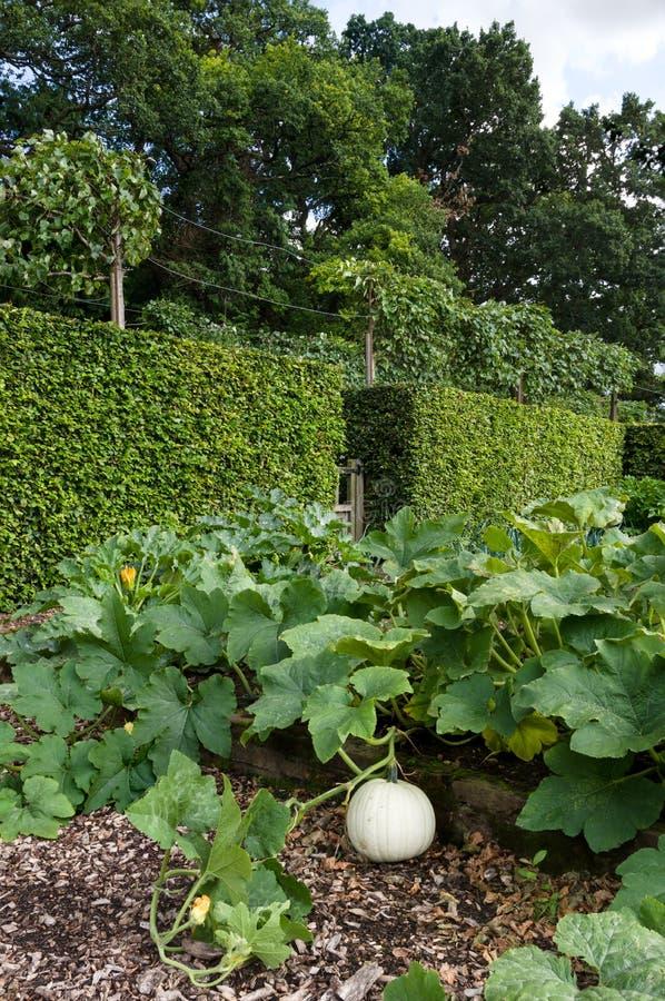 Тыква на лозе - огород - сад рынка - северный y стоковая фотография rf