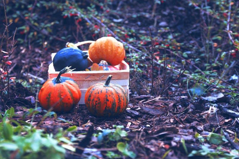 Тыква, осень, хеллоуин, апельсин, падение, сбор, овощ, тыквы, благодарение, ферма, еда, заплата тыквы, сезон, праздник, стоковое изображение