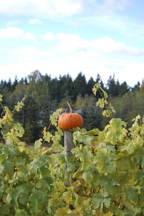Тыква сбора осени в винограднике стоковая фотография