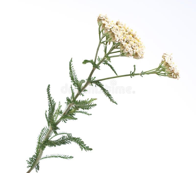 тысячелистник травяной микстуры стоковое изображение rf