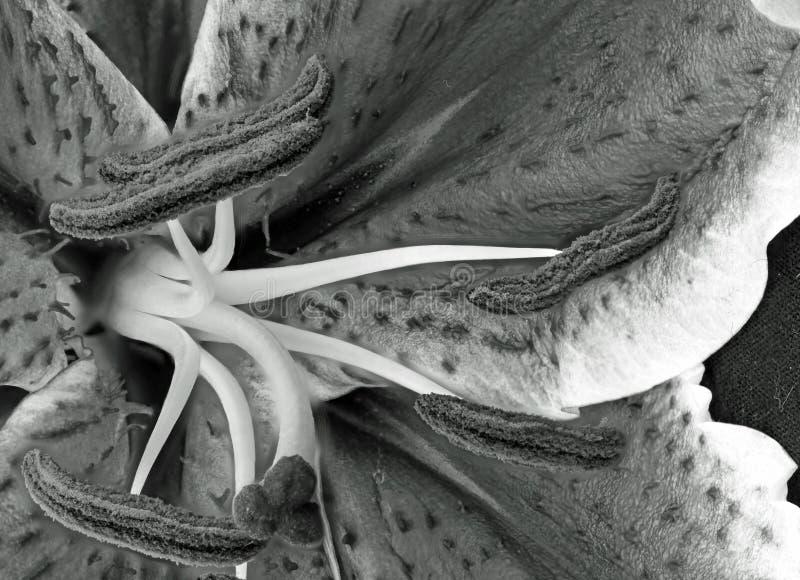 Тычинка лилии тигра стоковые изображения rf