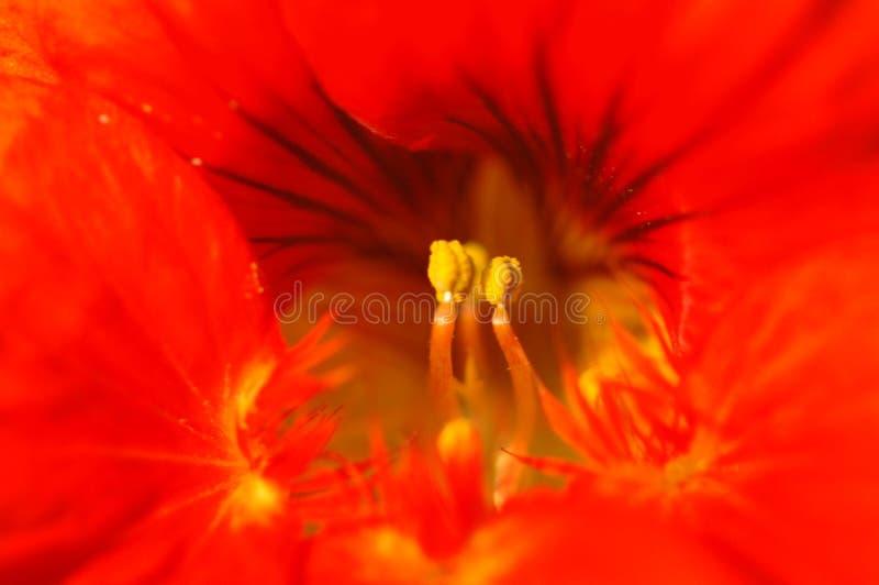 Тычинка цветка славы утра стоковое фото rf