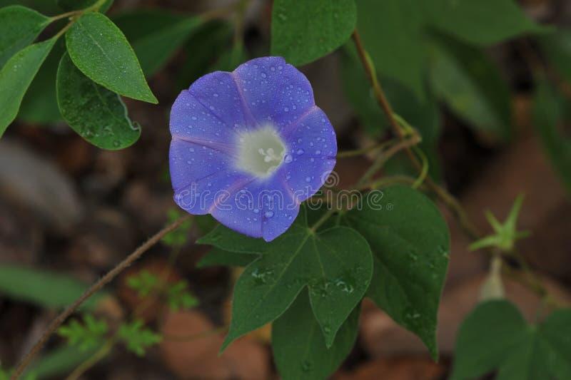 Тычинка цветка славы утра стоковое фото