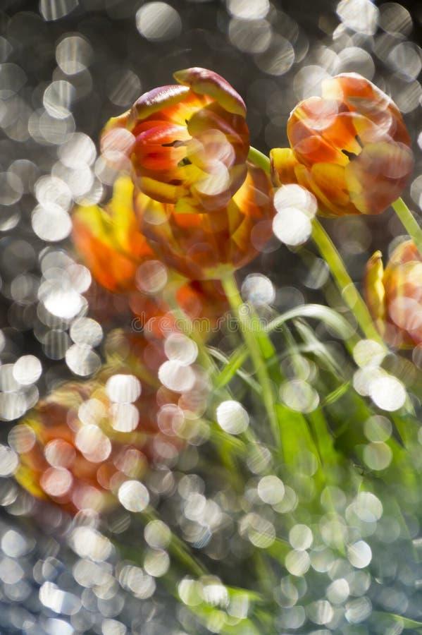 Тюльпаны абстрактное покрашенного multy красные и желтые в отражении  стоковое изображение rf