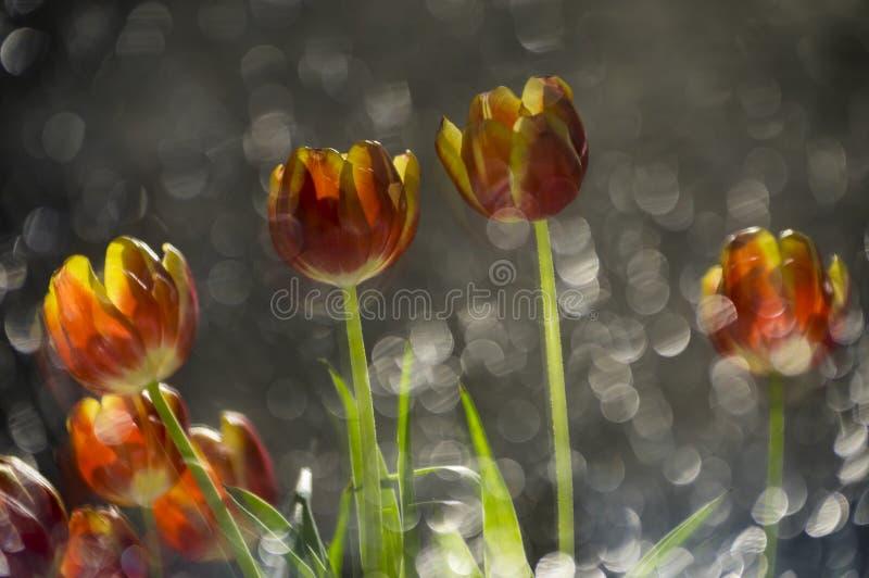 Тюльпаны абстрактное покрашенного multy красные и желтые в отражении  стоковое изображение