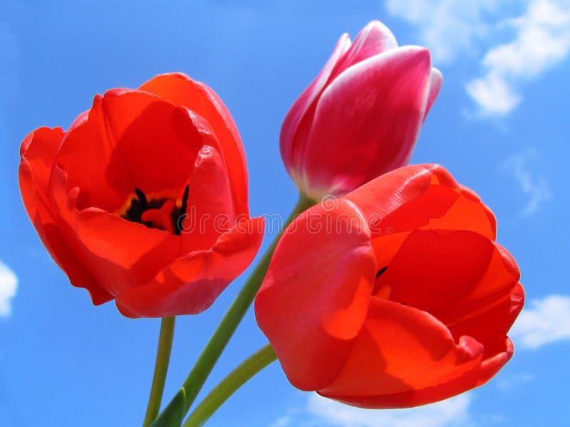 тюльпаны букета стоковые фото