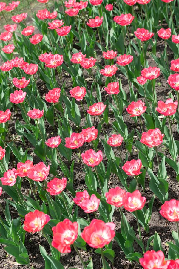 Тюльпаны вертикальная предпосылка пинка, вертикальное знамя Красочные розовые тюльпаны в цветочном саде, дендропарке Парк цветник стоковое изображение