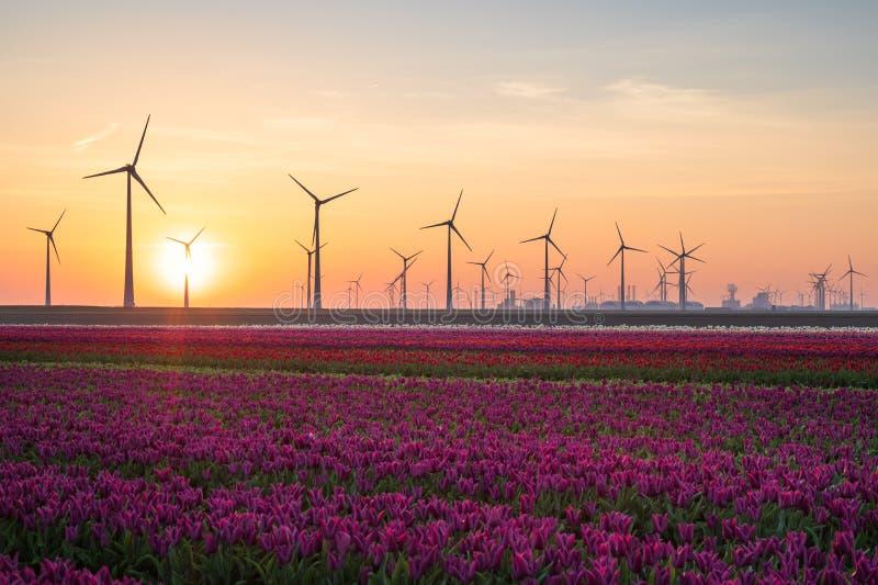 Тюльпаны, ветротурбины и восход солнца стоковые изображения