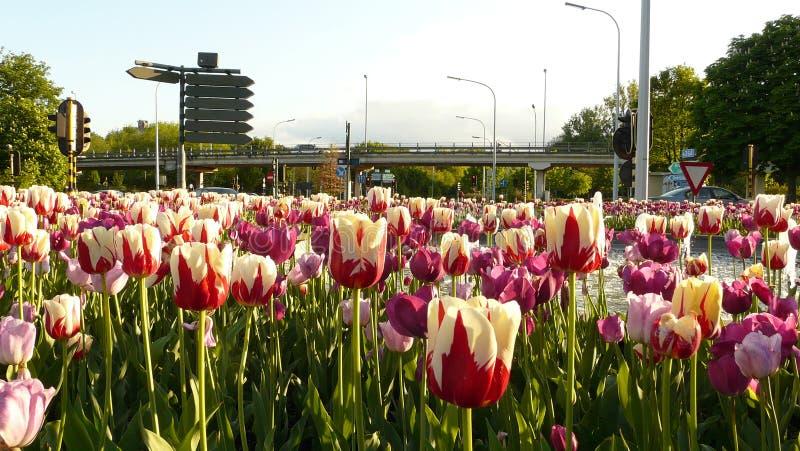 Тюльпаны в городской местности leuven стоковые изображения rf