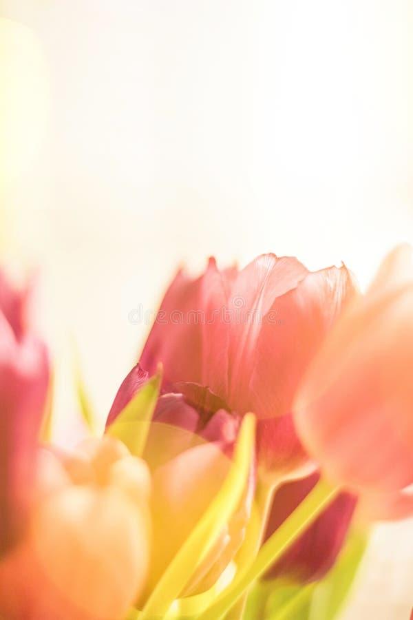 тюльпаны в солнечном свете - флористическом, праздниках весны и концепции подарка на день рождения стоковые изображения rf
