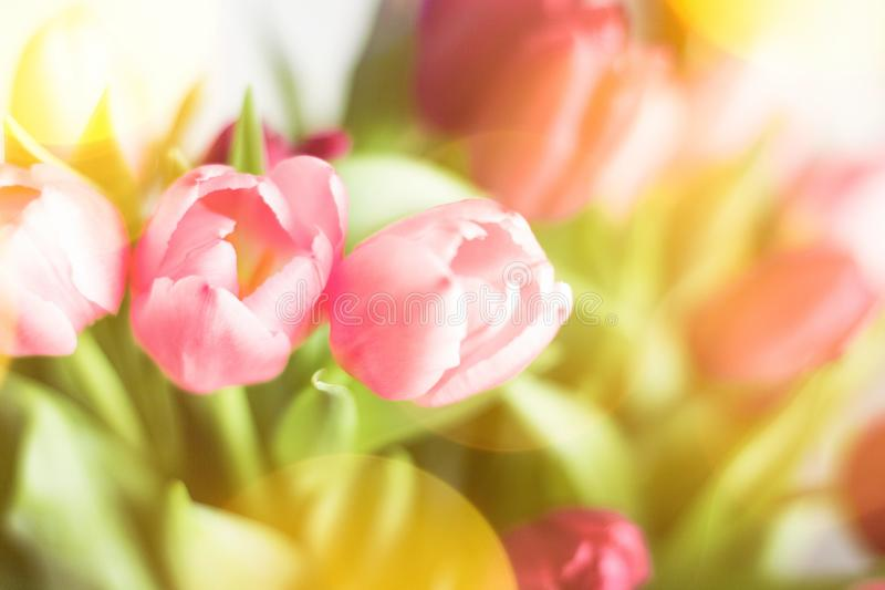 тюльпаны в солнечном свете - флористическом, праздниках весны и концепции подарка на день рождения стоковое изображение