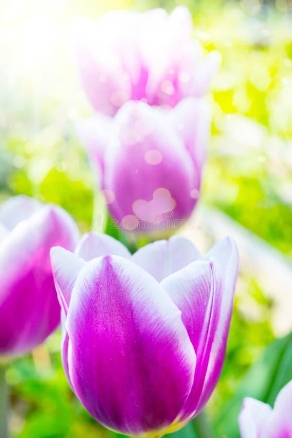 Тюльпаны в солнечности, цветки весны стоковое фото rf