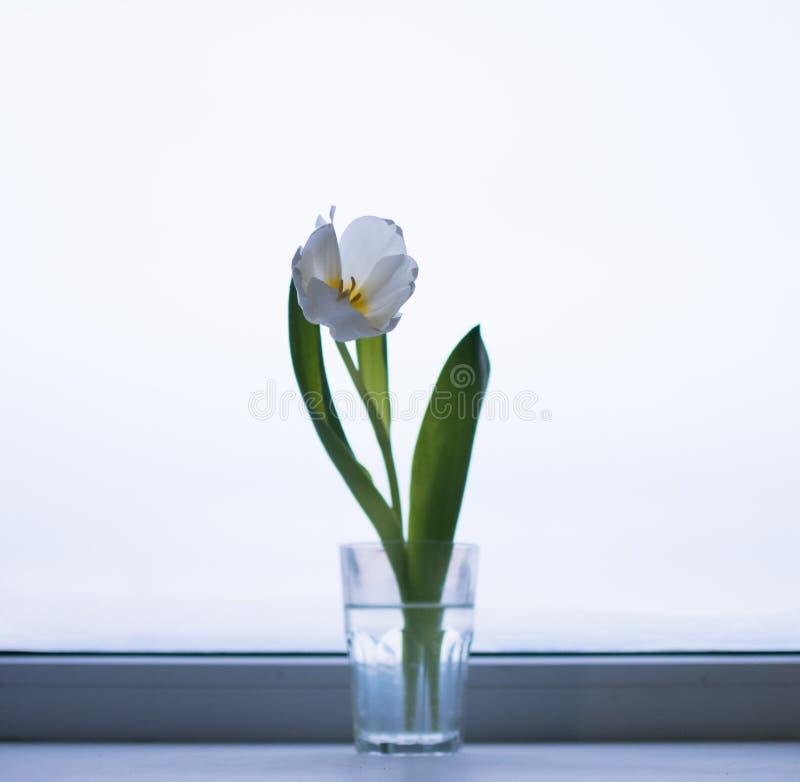 Тюльпаны в стеклах на окне стоковое фото rf