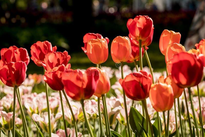 Тюльпаны в Central Park культуры и воссоздания в Санкт-Петербурге стоковые фото