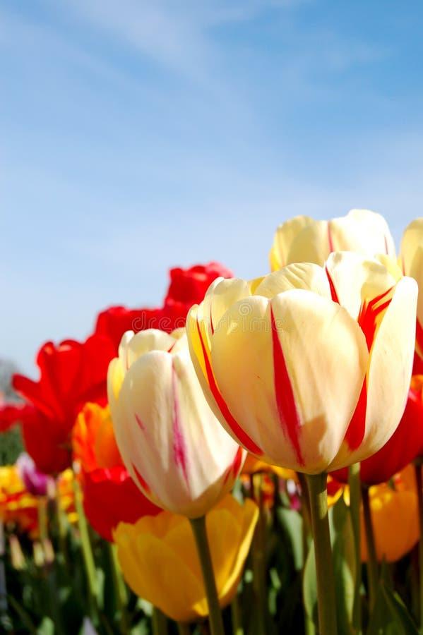тюльпаны живые стоковая фотография rf