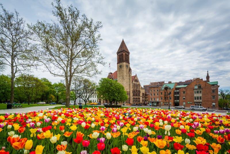 Тюльпаны и городская ратуша, в Albany, Нью-Йорк стоковое изображение rf