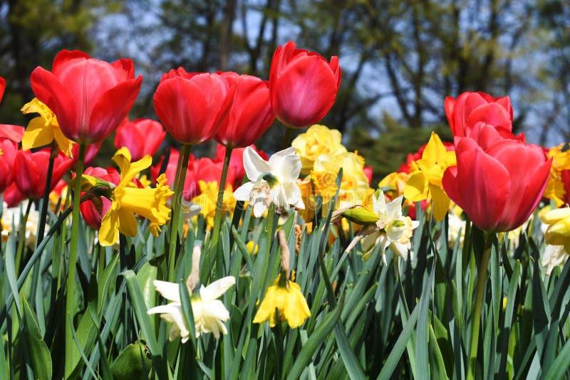 Тюльпаны красного огня стоковые фотографии rf