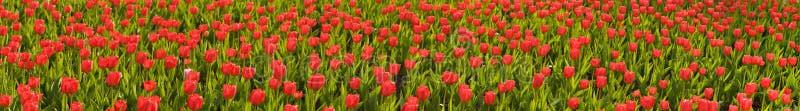 тюльпаны красного цвета поля крупного плана стоковые фото
