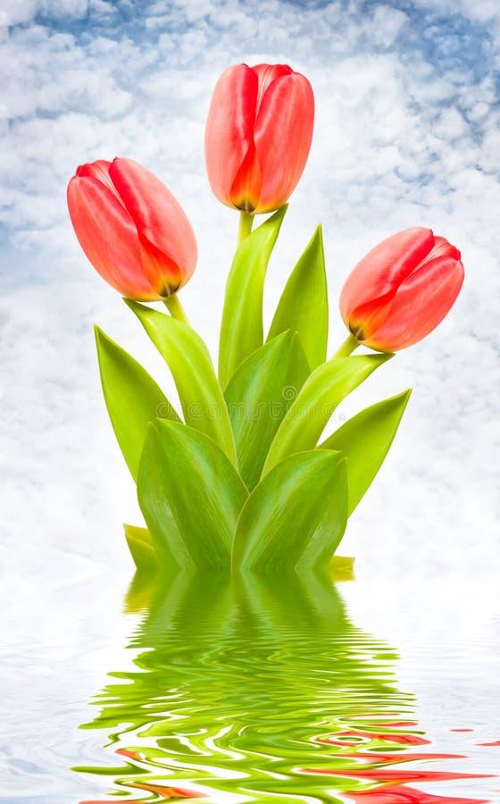 тюльпаны красного цвета 3 предпосылки идилличные стоковые изображения rf
