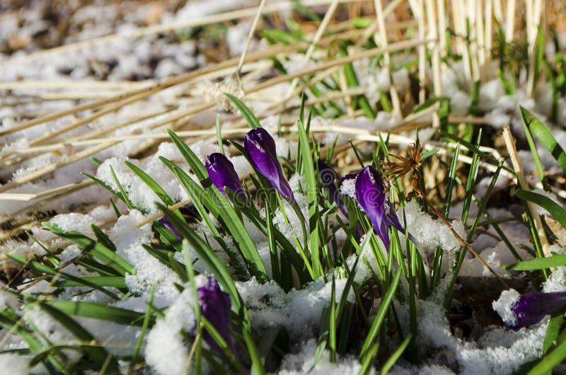 Тюльпаны пасхи вытекая через свежий снег весны стоковые фото