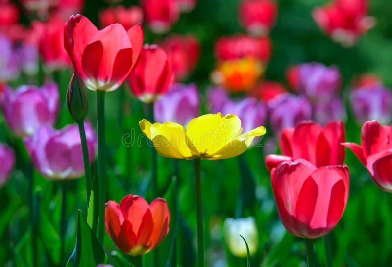 Тюльпаны пестротканого парника цветков весной солнечного стоковое фото rf