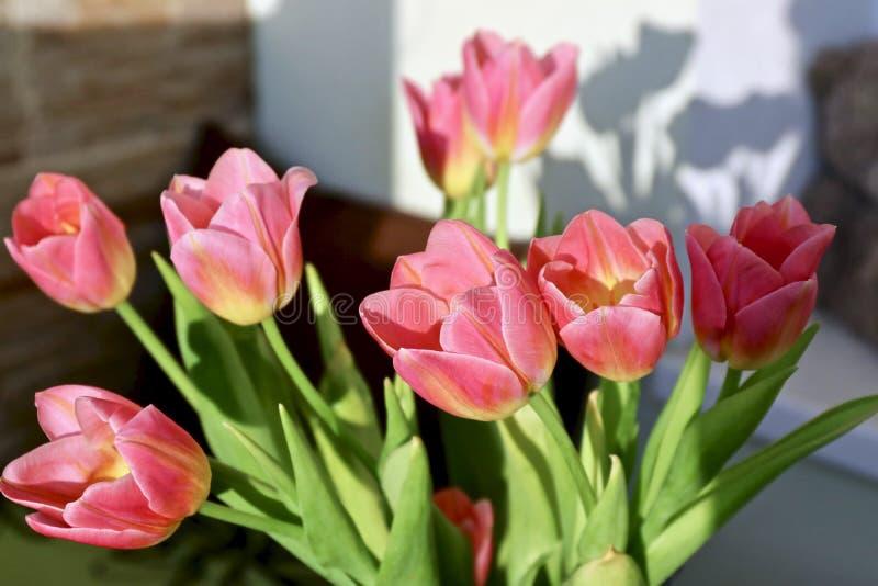 Тюльпаны пинка весны в солнце стоковые фотографии rf