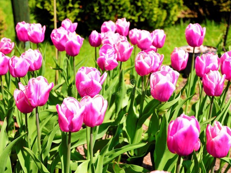 Тюльпаны пинка Beautful от моей задворк стоковые изображения rf
