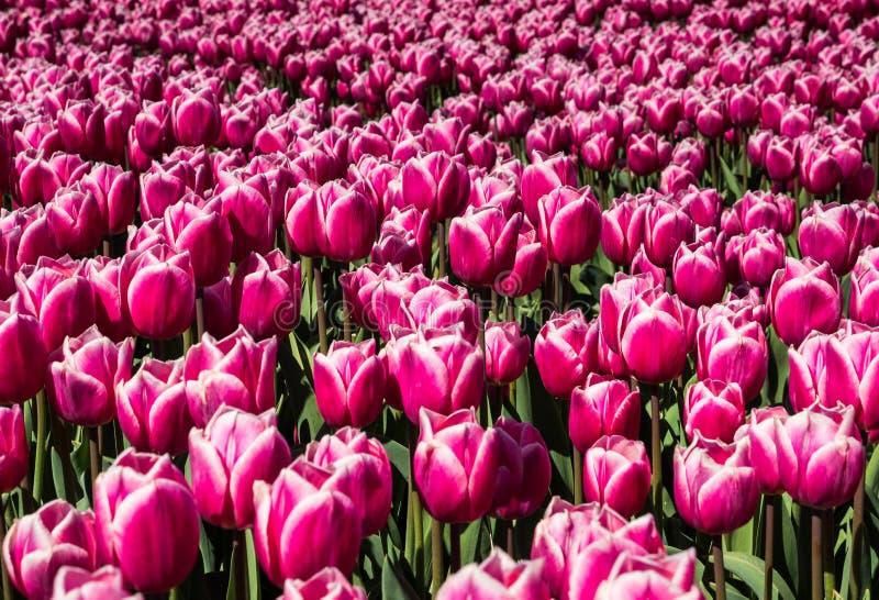 тюльпаны поля розовые стоковая фотография