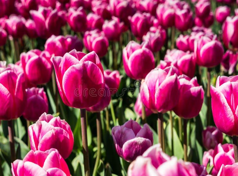 тюльпаны поля розовые стоковые изображения rf