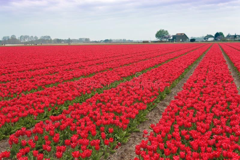 тюльпаны поля шарика красные эффектные белые стоковая фотография
