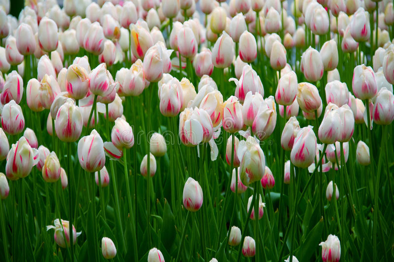 тюльпаны поля стоковые изображения