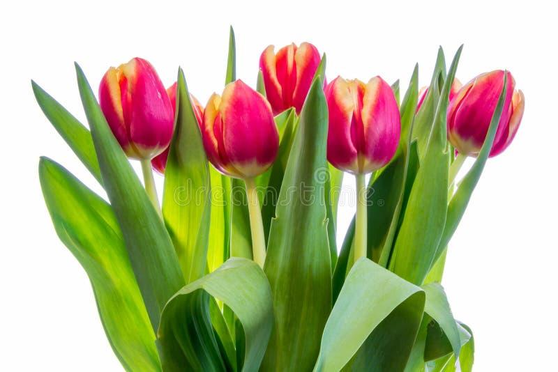 тюльпаны предпосылки белые стоковые изображения rf
