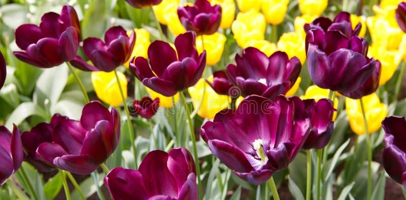 тюльпаны предпосылки лиловые предпосылка покрасила вектор тюльпана формы пасхальныхя eps8 красный стоковые изображения rf