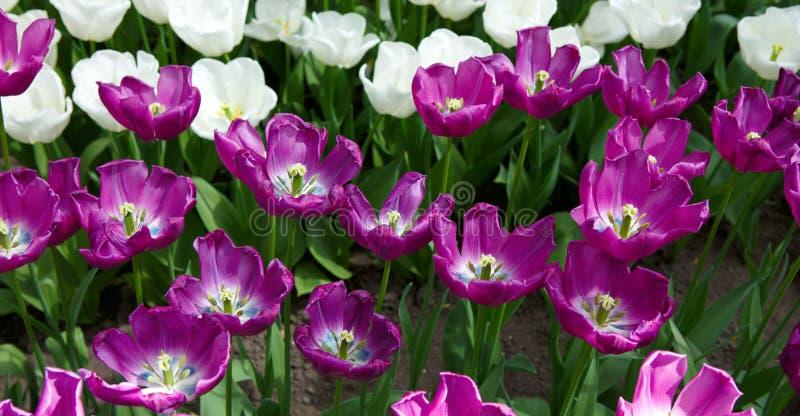тюльпаны предпосылки лиловые предпосылка покрасила вектор тюльпана формы пасхальныхя eps8 красный стоковая фотография rf