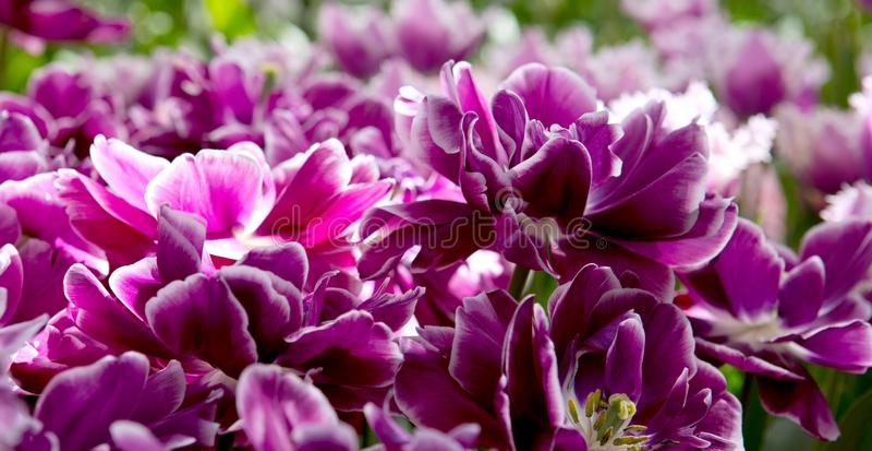 тюльпаны предпосылки лиловые Съемка макроса стоковое изображение rf