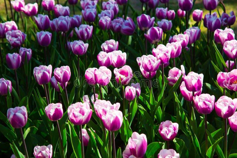 Тюльпаны пурпура и белых весны зацветая в саде стоковое фото