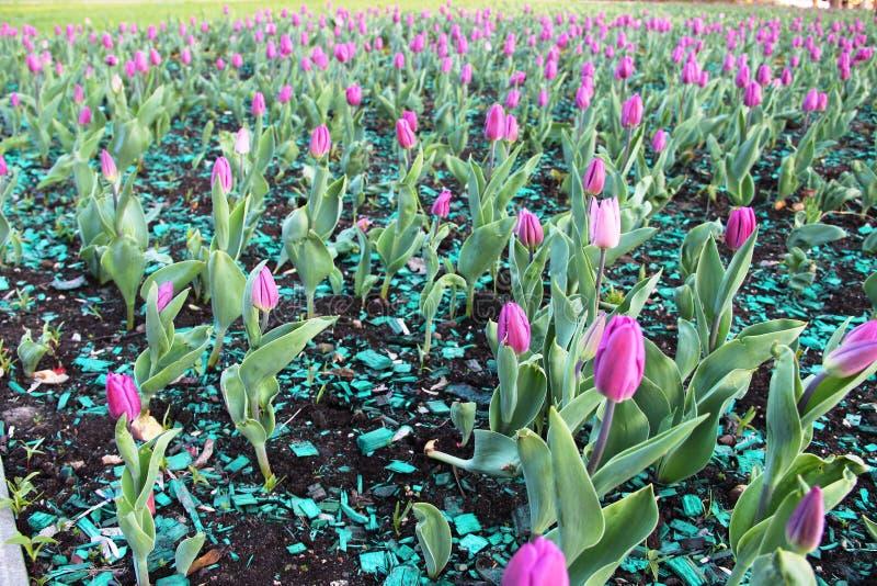 Тюльпаны сирени, выборочный фокус пурпурные тюльпаны зацветают на цветнике города в парке стоковое изображение