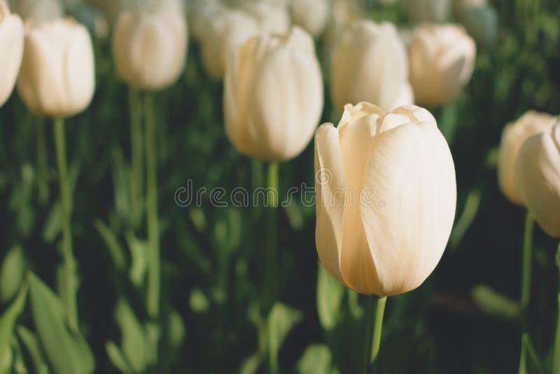 Тюльпаны сливк бежевые закрывают вверх Красивое поле светлых тюльпанов Сад тюльпанов сливк весной стоковые изображения